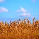 米粒麦ともち麦の違いとは?押し麦とも比較して私が選んだのはコレ!